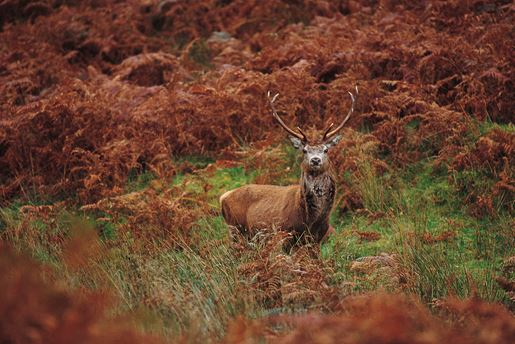 A Red Deer In A Field With Bracken Visitscotland Paul Tomkins