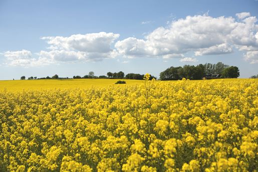 A blooming canola flower field in South Sweden in summer