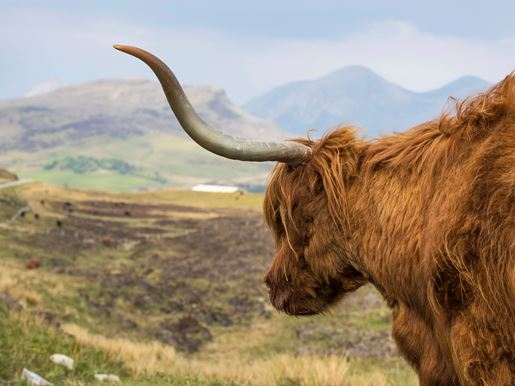 A Highland Cow On The Road To Elgol Visitscotland Kenny Lam
