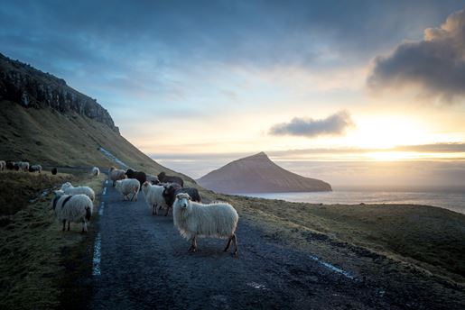 Sheep on a road in the Faroe Islands